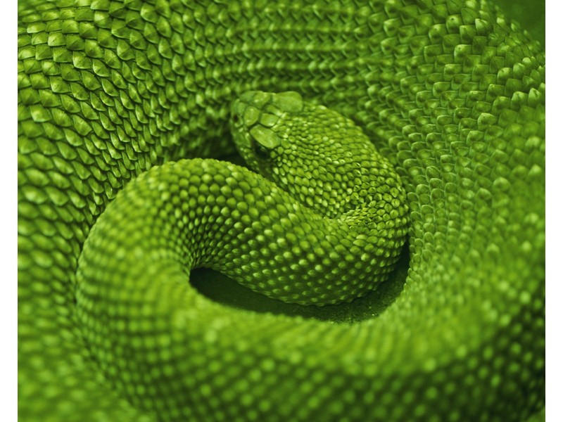 Coiled Green Snake