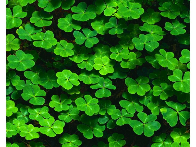 Зеленый клевер