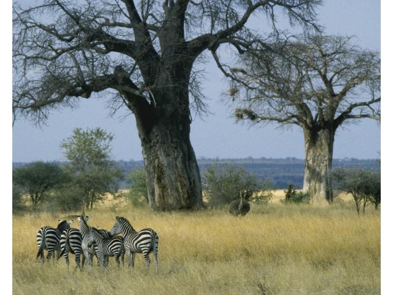 Stado Zebr