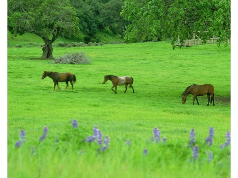 Пасущиеся лошади