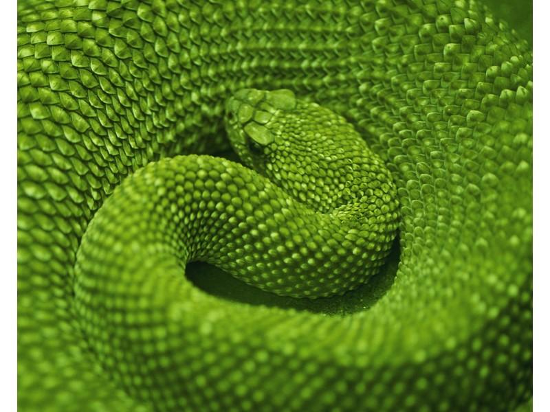 Coiled Green Snake