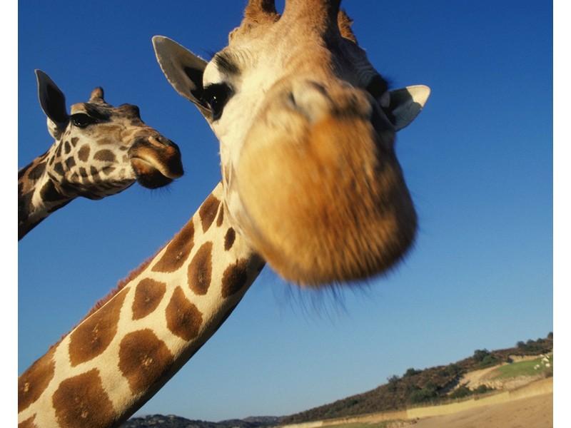 Curious Giraffe