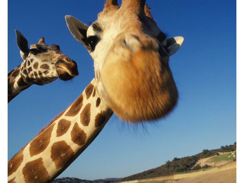 Ciekawa Żyrafa