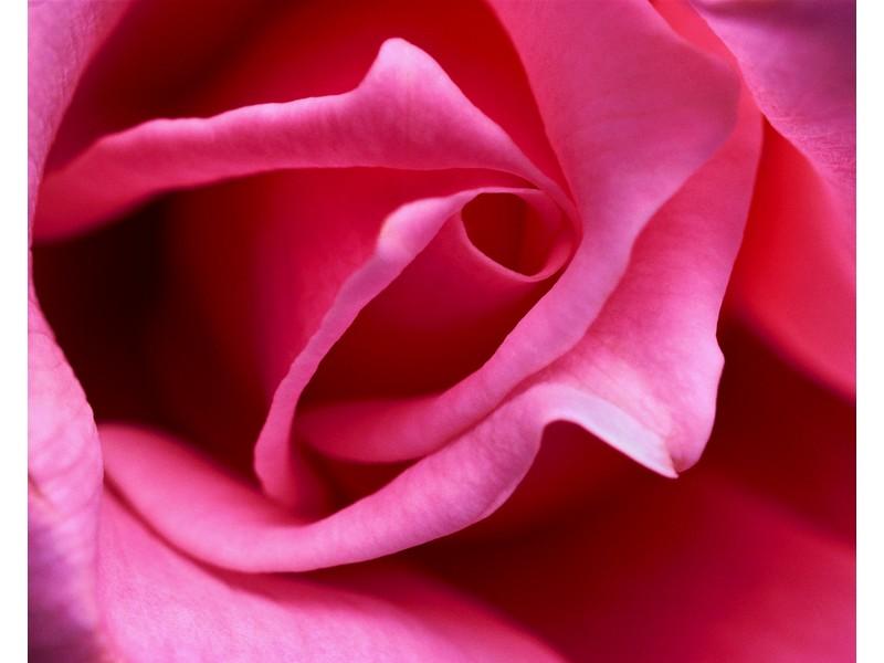 Pink Rose Close
